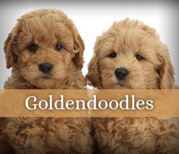 Labradoodle & Goldendoodle Breeder | Southerndoodlin | San Antonio