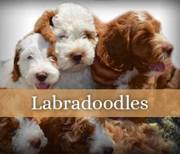 Labradoodle & Goldendoodle Breeder | Southerndoodlin | San