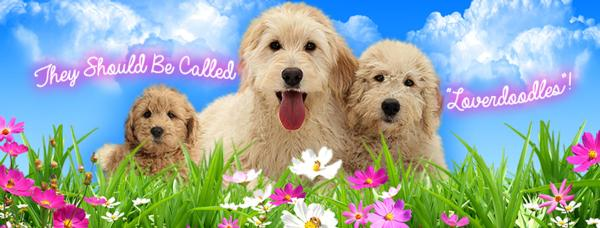 Labradoodles as therapy dogs