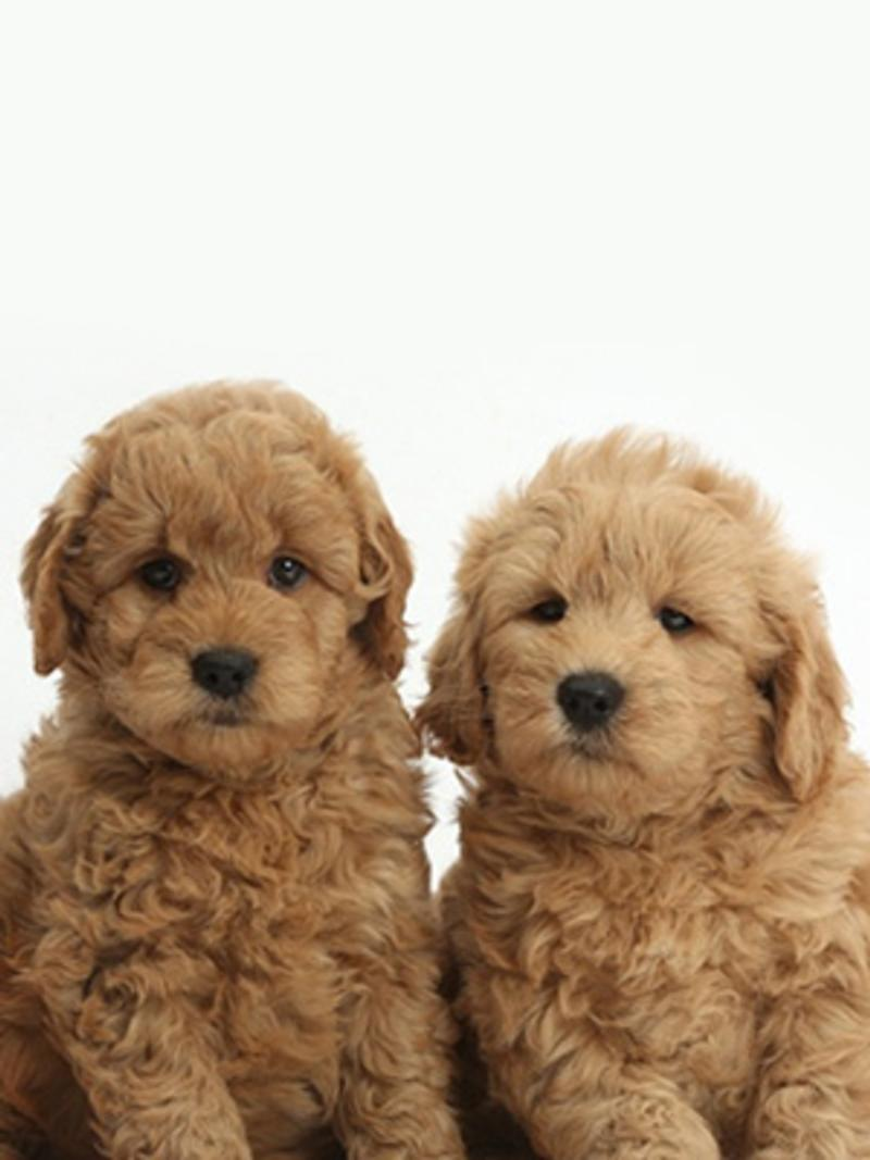 Goldendoodles Breed Photo