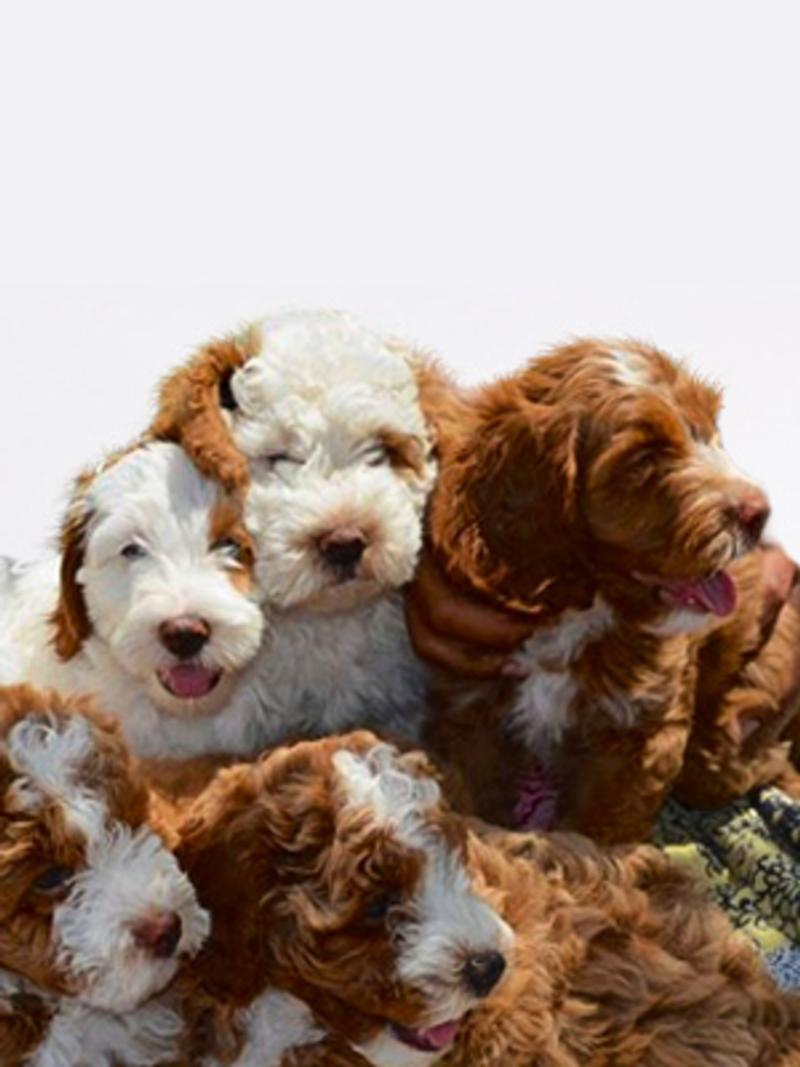 Labradoodles Breed Photo