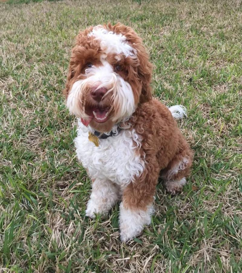 Labradoodle - Lone Star Rusty