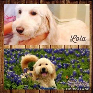Goldendoodles for sale Texas